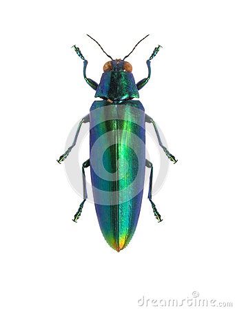 Tropical beetle Chrysochroa