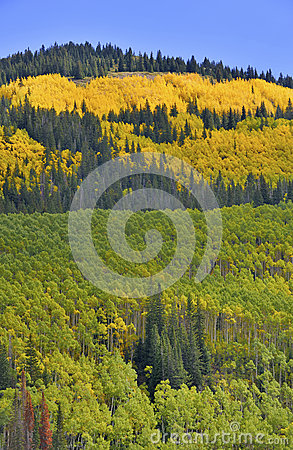 Golden Aspen Rocky Mountains with Autumn Colors