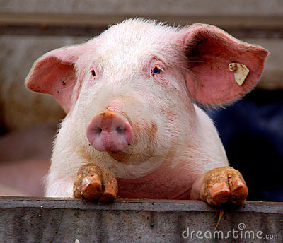 Cute young pig
