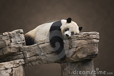 Giant Panda Portrait