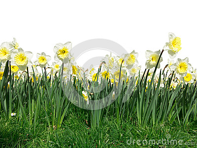 Foreground Daffodil flowers