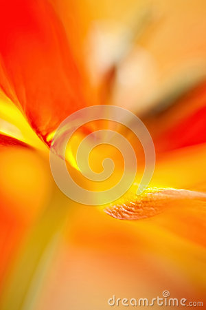 Parrot Tulip Abstract