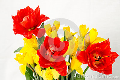 Yellow daffodil and red tulip