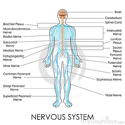 Nerves diagram images human anatomy organs diagram diagram of nerves choice image human anatomy organs diagram ccuart Choice Image