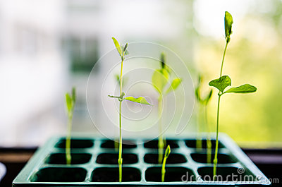 Sweet pea sprouts