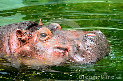 The Hippo head in water