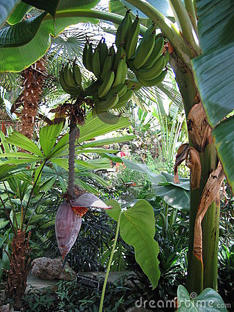 Bananas growing
