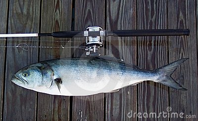Boat Rod and Bluefish