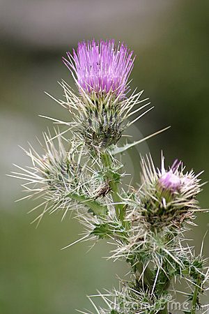 Purple Thistle Flower 2