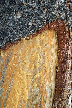 Pine Tree Bark and Sap