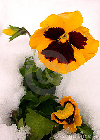 Yellow Pansy in Snow