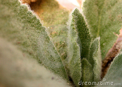 Hairy Plant Fuzzy Leaves