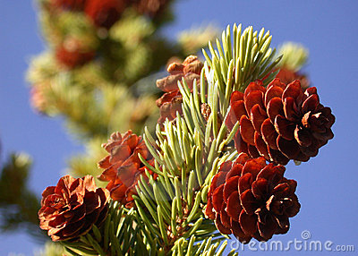 Live Pine Cones on Branch