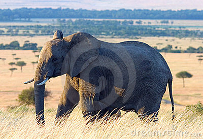 Elephant in the African Plains