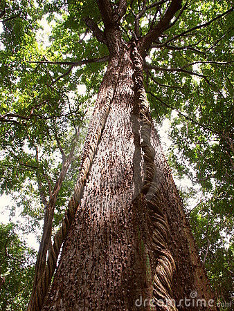 Tree in low elevation tropical rainforest