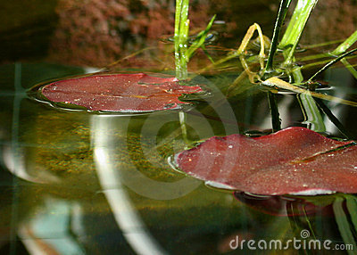 Fish Pond Lily Pads