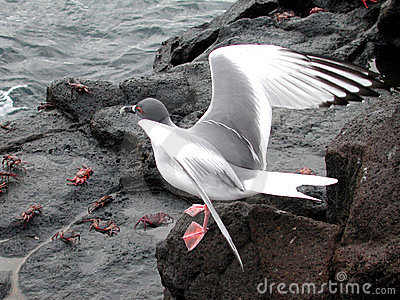 Sea-gull of prey