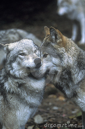 Showing wolf dominance