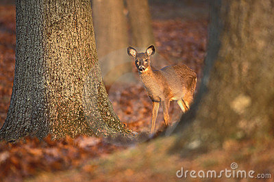 Doe behind trees