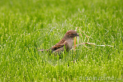 Sparrow collecting