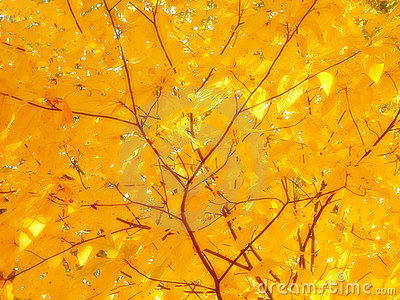 Sunshine on yellow leaves
