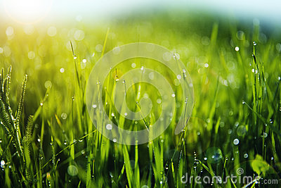Grass with Morning Dew Drops