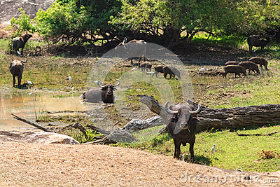 Herd of wild water buffaloes and boars by water hole