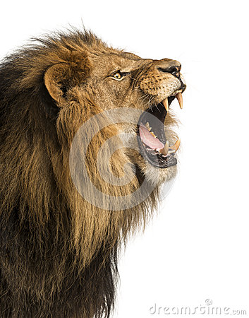 Close-up of a Lion roaring, isolated