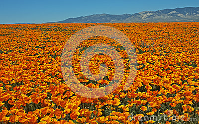 Ocean of California poppies