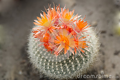 Cactus orange blooms