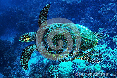 Big turtle undersea