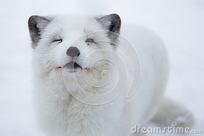 Arctic fox in the snow in Norway