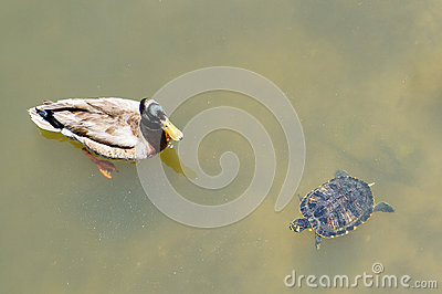 A swimming Florida red-bellied cooter (turtle) and mottled duck