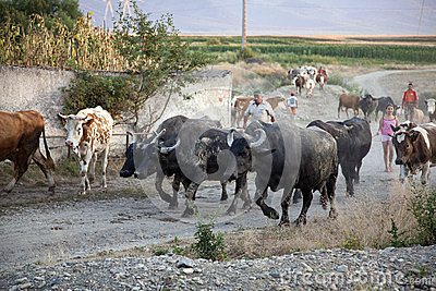 Herd of cows and buffaloes