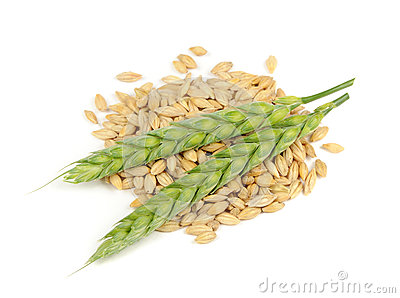Barley Grains and Ears Isolated on White Background