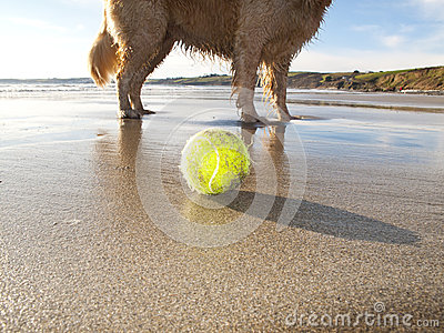 Dog enjoying beach and tennis ball at Gerrans Bay, Cornwall, United Kingdom