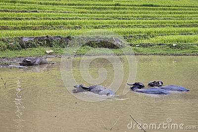 Herd of water buffaloes