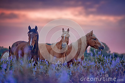 Horses in flowers field at sunrise