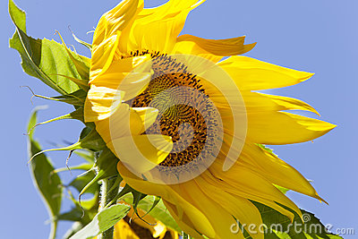 Sunflower Blowing in Wind