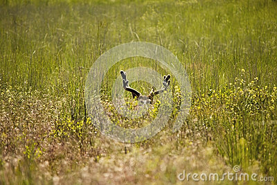 Bedded Mule Deer Buck