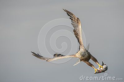 White-tailed Eagle with catch.