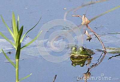 Bullfrog in a Pond