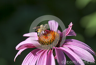 Honey Bee on Echinacea Flower
