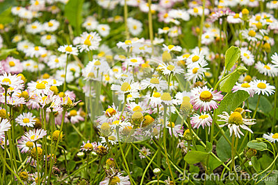 Many colors of daisies