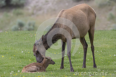 Newly born elk with mother
