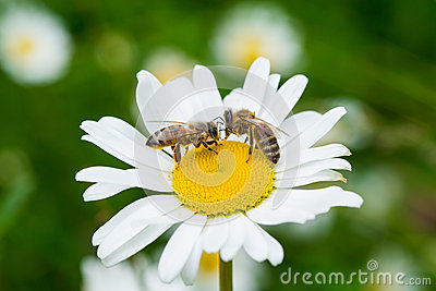 Bees sucking nectar from a daisy flower