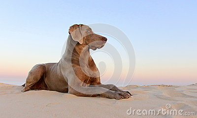 A beautifull weimeraner poses on the beach in this image