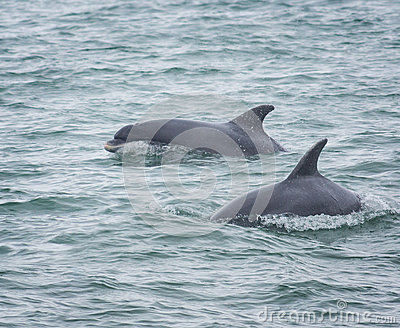 Bottlenose dolphin dolphins