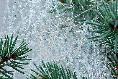 Pine branch with spider web or cobweb with water drops