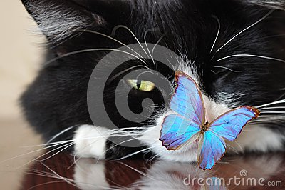 Black cat and blue butterfly
